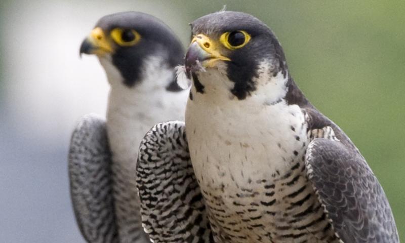 Sokol stěhovavý (Falco peregrinus). Přes všechny nástrahy velkoměsta si zachovává monogamnost. (Kredit: Stephanie Ware, The Field Museum)