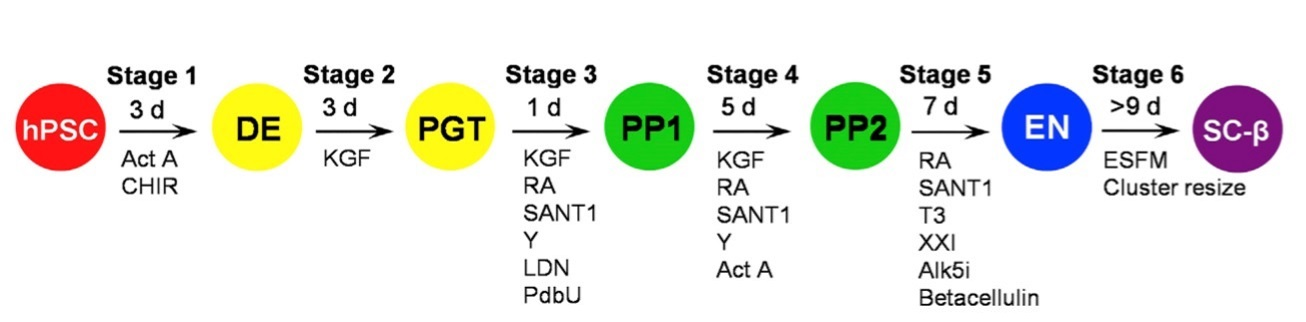 Šestistupňové přemlouvací schema, kterým se daří buňky přeměnit v buňky téměř takové, jaké máme v Langerhansových ostrůvcích pankreatu. Kredit: Leonardo Velazco-Cruz, et al., Washington University.