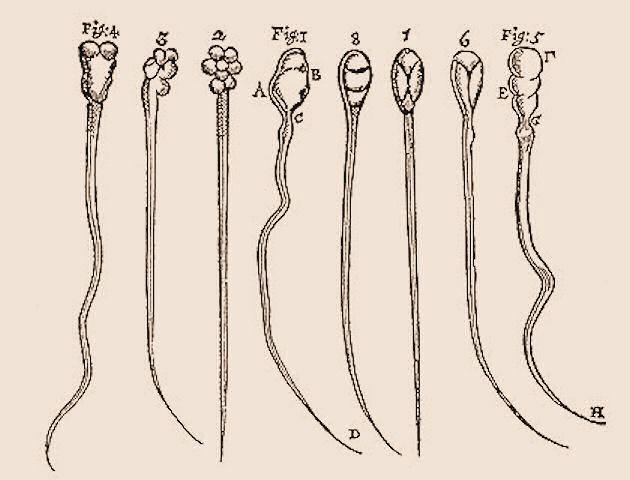 Psí a králičí spermie. Autor kreseb:  Antoni van Leeuwenhoek, 1677.