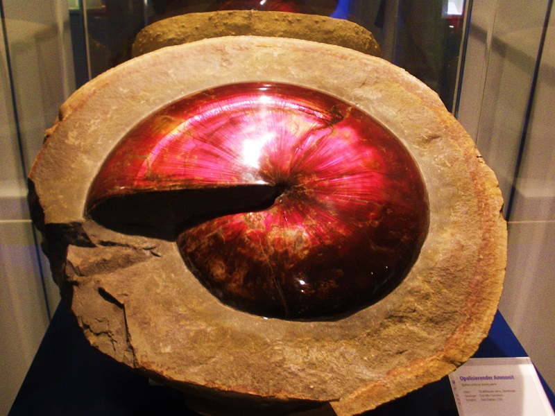 Opalizovaný exemplář amonita rodu Sphenodiscus. Tento rod představoval jedno z posledních vývojových vzepětí amonoidů krátce před událostí K-Pg. Ukazuje se však, že přinejmenším druh S. pleurisepta tuto hranici nejspíš překonal. Kredit: Ghedoghedo, W