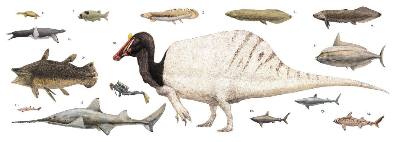 """Dospělý spinosaurus ve velikostním srovnání s potápěčem a množstvím ryb a paryb, které žily ve stejných říčních ekosystémech na severu Afriky před asi 100 miliony let (a představovaly zřejmě hlavní potravu tohoto """"obojživelného"""" predátora). Kredit: J"""