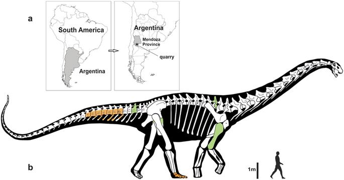 Silueta nového titanosaura ve srovnání s postavou dospělého člověka. Je zřejmé, že Notocolossuspatřil k největším tvorům, kteří se kdy procházeli po suché zemi. Absolutním velikostním rekordmanem však nebyl. Kredit: González Ri