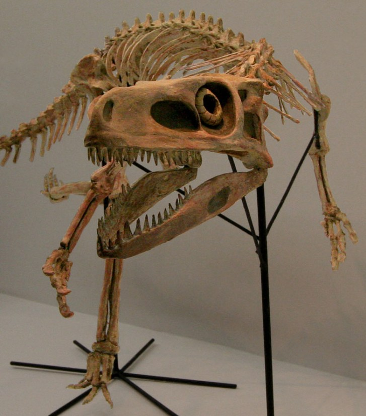 Rekonstruovaná kostra staurikosaura, menšího dravého dinosaura, jehož fosilie známe ze sedimentů souvrství Santa Maria. Při délce kolem 2,25 metru dosahoval tento starobylý dinosaurus hmotnostistředně velkého psa.Kredit:Kabacchi, Wikipedie (CC BY