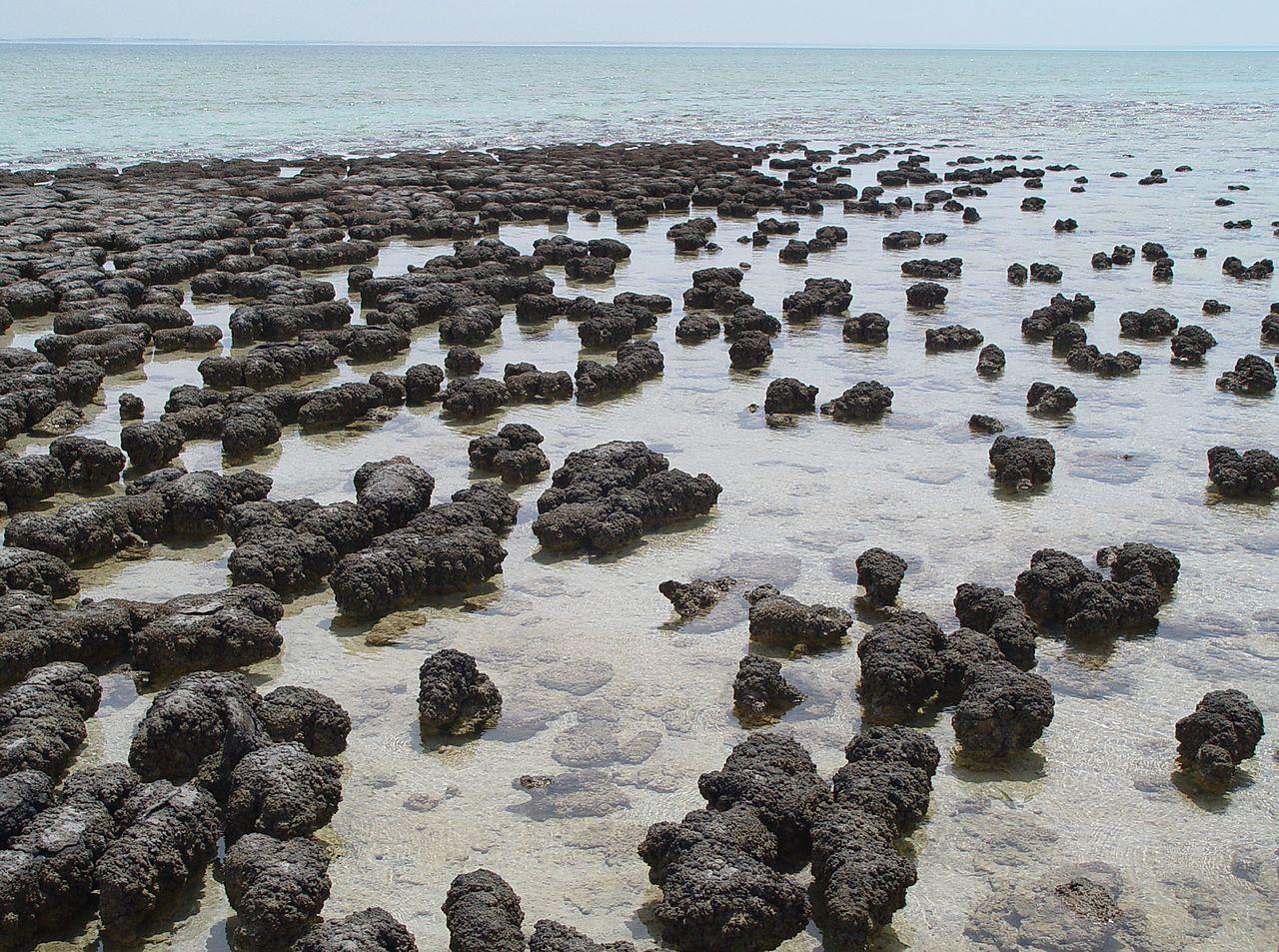 K nejstarším památkám na život patří stromatolity - dílo primitivních bakterií a sinic. Fotografie je ze Žraločí zátoky v Austrálii. (Kredit Paul Harrison, Wikipedia)