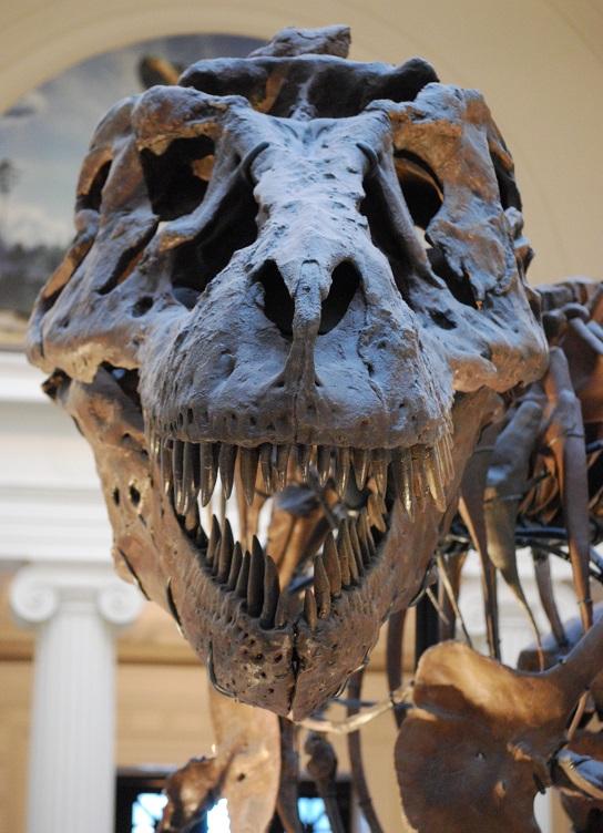 Teropodi v čele s Tyrannosaurem rexem se drželi dlouho. Také jim se nakonec specializace, byť dovedená k dokonalosti, doprovázená ztrátou diverzity, stala osudnou. Kredit:  ScottRobertAnselmoWikipedia, CC BY-SA 3.0