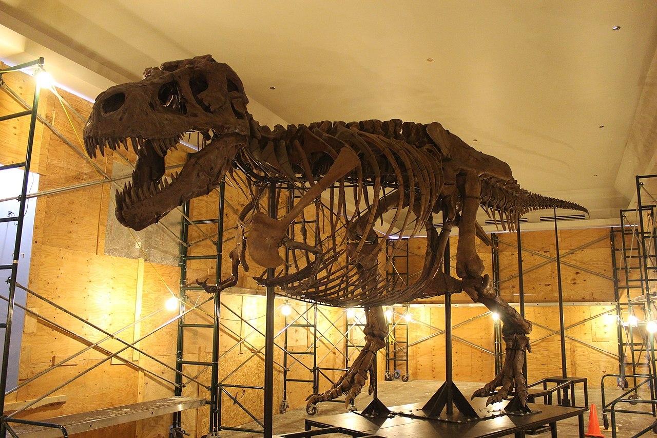 """Nově zrekonstruovaná kostra nejslavnějšího exempláře tyranosaura """"Sue"""", tentokrát i s """"břišními žebry"""" (gastráliemi). Mozek tohoto jedince měl objem 0,414 litru a jeho EQ činilo zhruba 1,6 až 2,2. Jeho mozek byl tedy v poměru k velikosti těla asi dva"""