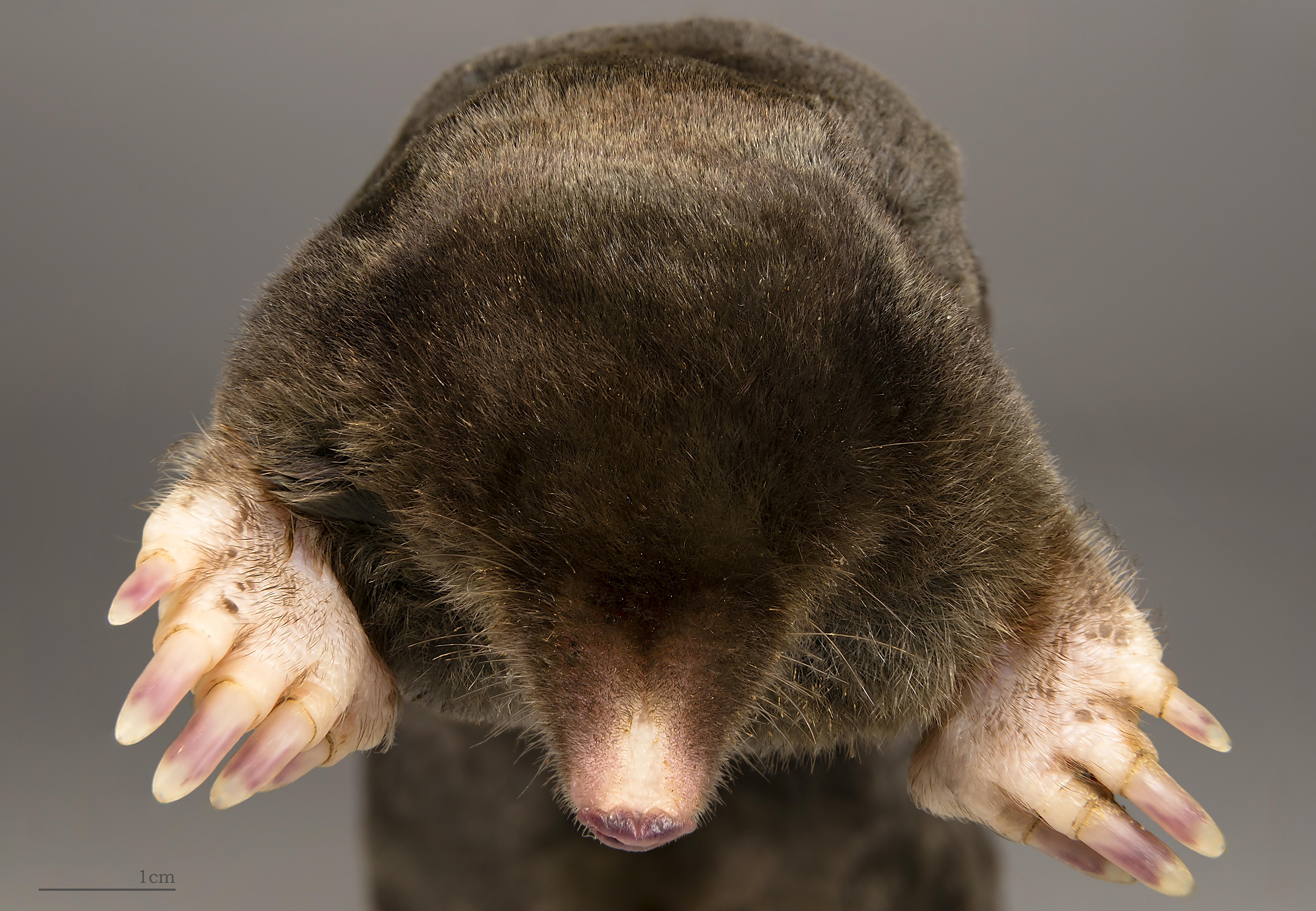 Krtek obecný (Talpa europaea).  Kredit: Muséum de Toulouse, CC BY 3.0