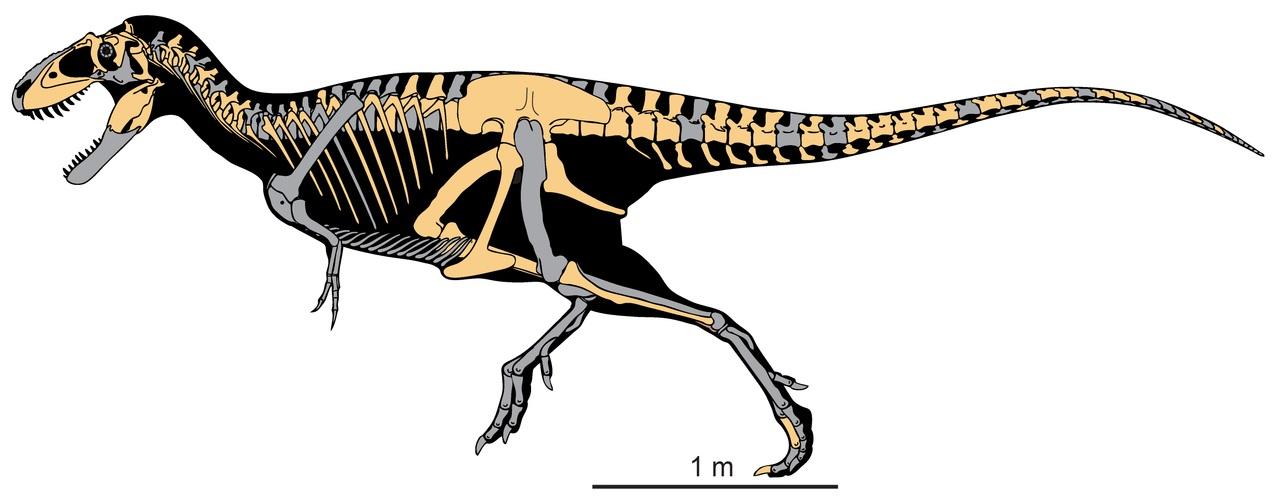 Diagram zobrazující tvar těla a dochované fosilní elementy kostry druhu Teratophoneus curriei. Holotyp představoval nedospělého jedince o délce asi 6 metrů a odhadované hmotnosti kolem 667 kilogramů. Nápadným znakem je relativně krátká a vysoká lebka