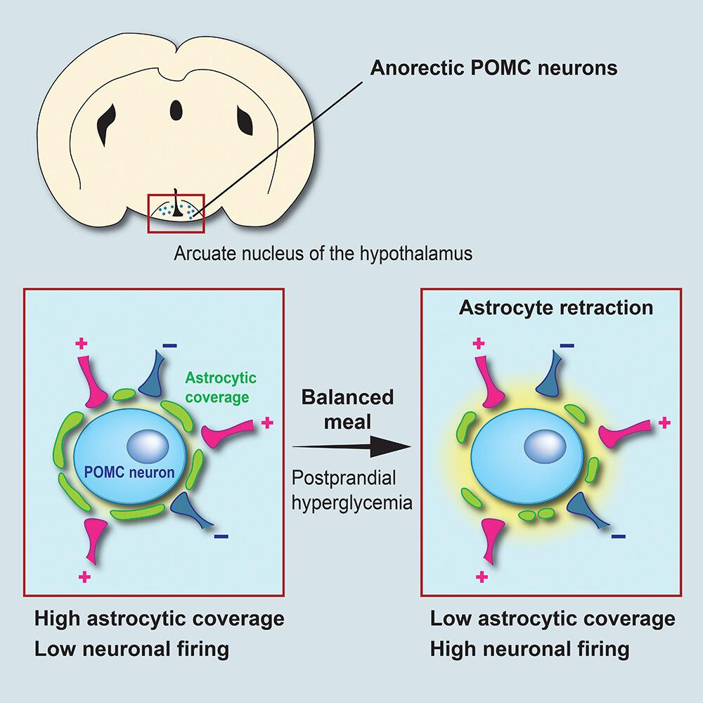 Schema přestavby obvodu sytosti neuronů POMC. K anorektickému neuronu v hypotalamu (modře) se těsně přimyká svými výběžky astrocyt (zeleně). Takto