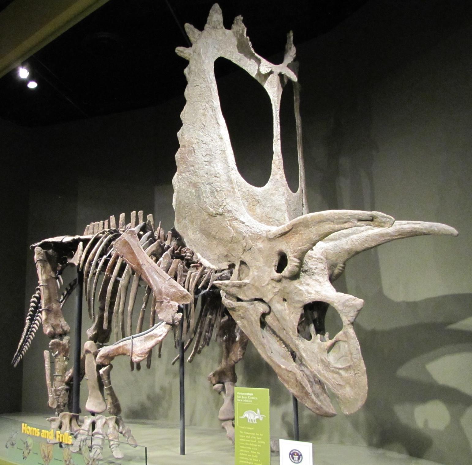 Titanoceratops ouranos byl velký ceratopsid s extrémně dlouhou lebkou. Původní odhady její délky se pohybovaly kolem tří metrů, později byla tato míra snížena na 265 centimetrů. Kredit: Kurt McKee; Wikipedie (CC BY-SA 2.0)
