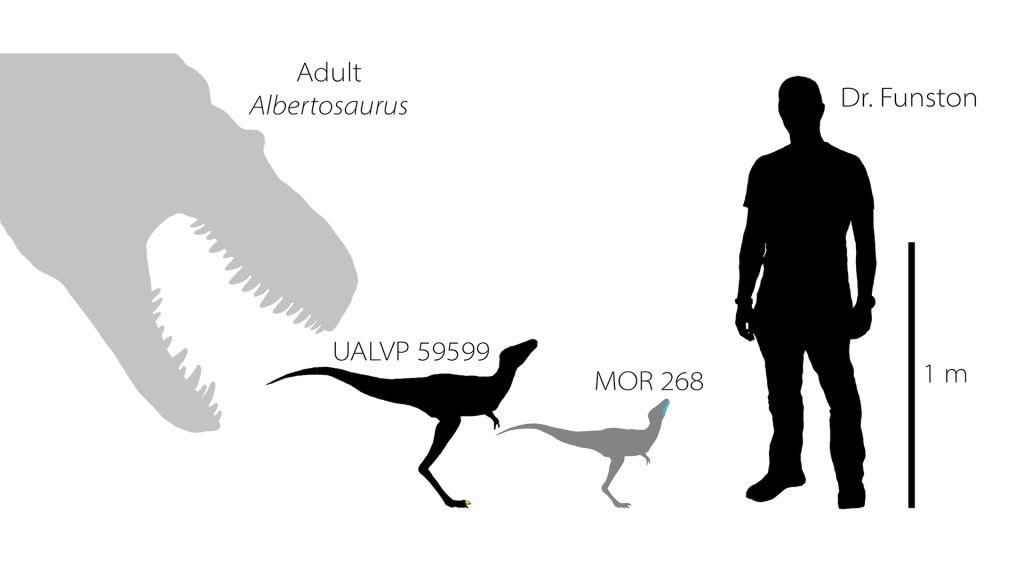 Velikostní porovnání dospělce druhu Albertosaurus sarcophagus, původců obou nově zkoumaných fosilií a postavou dospělého člověka (zde reprezentovaného samotným vedoucím výzkumu). Je patrné, že tyranosauridi začínali svůj život v podobě drobných a ští