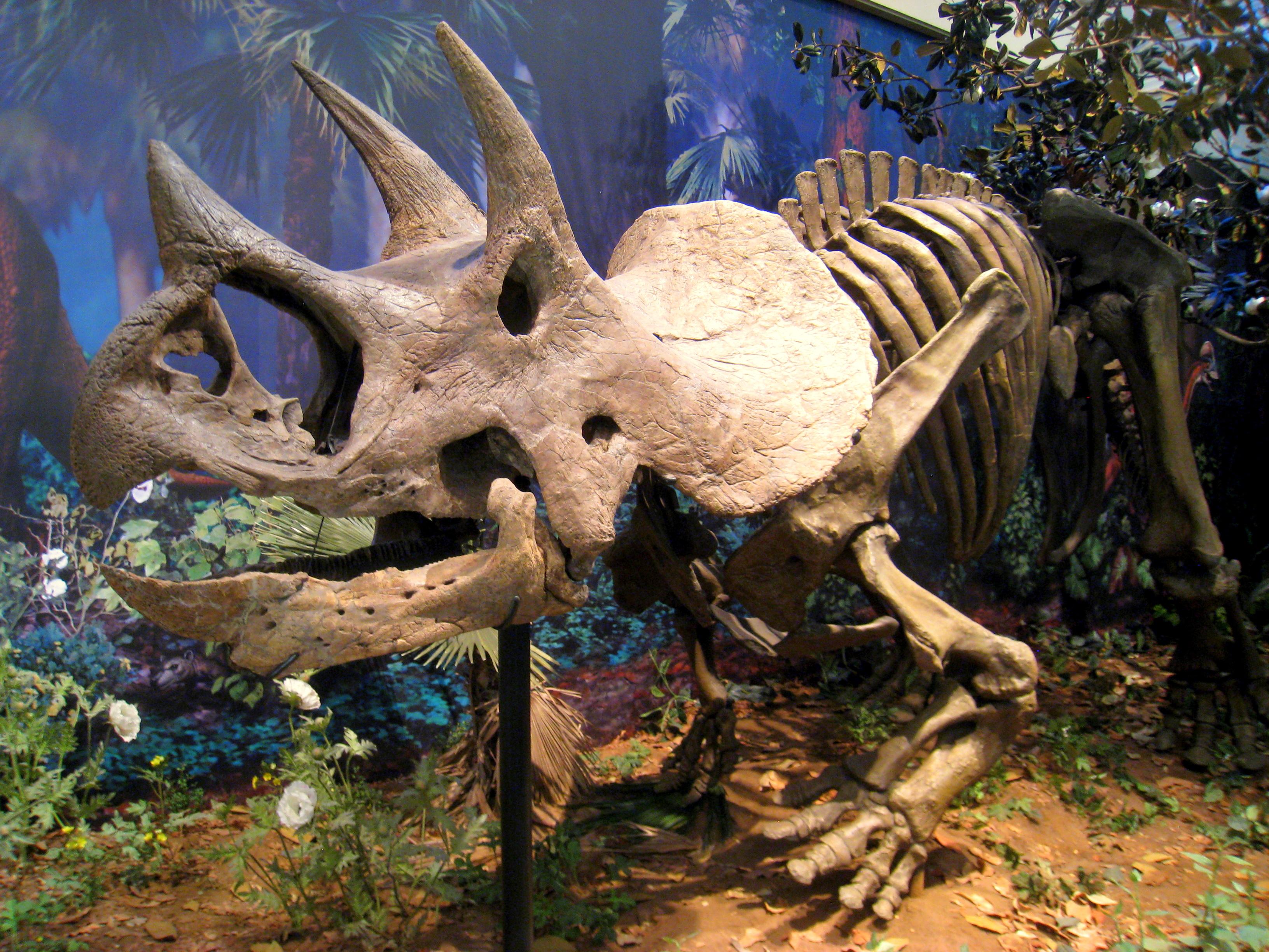 Nejpravděpodobnějším původcem kostních fragmentů v koprolitu bylo mládě rohatého dinosaura rodu Triceratops (kostra v expozici Carnegie Museum of Natural History na fotografii) nebo mládě kachnozobého dinosaura rodu Edmontosaurus. Kredit: Daderot, Wi