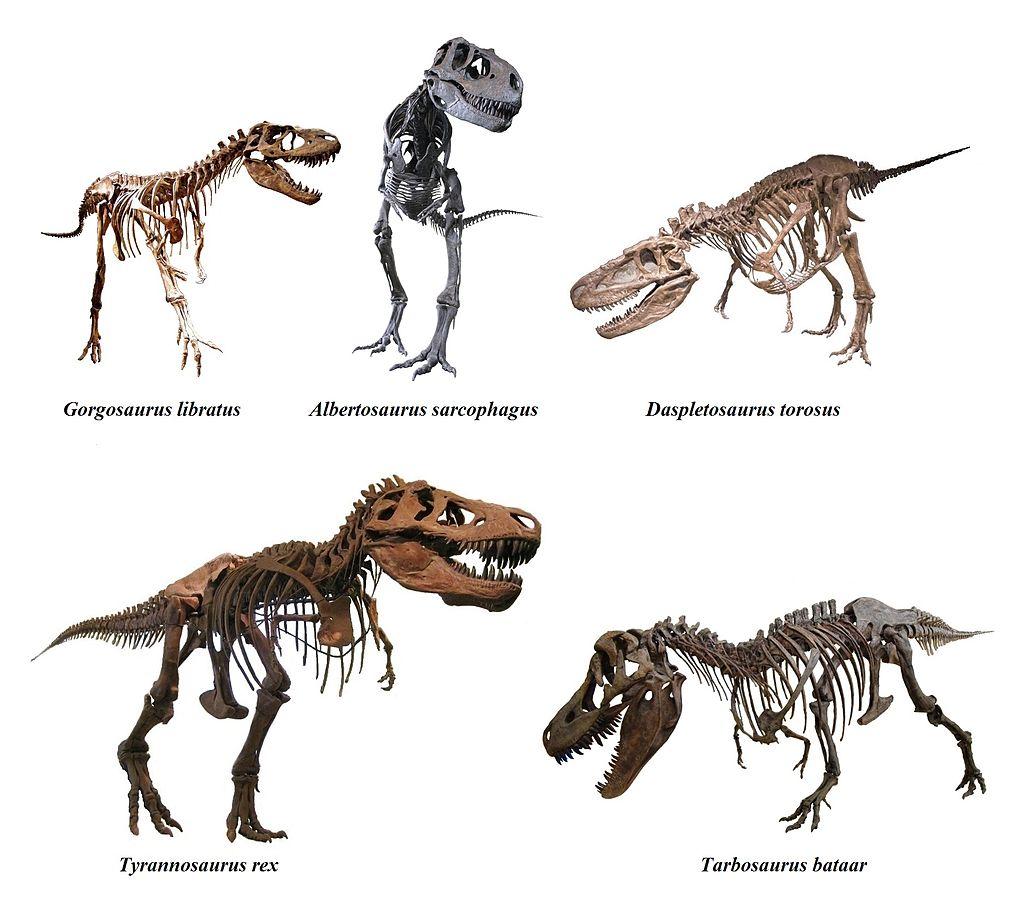 Přehled nejvýznamnějších zástupců čeledi Tyrannosauridae přibližně v odpovídajícím velikostním měřítku. S výjimkou asijského tarbosaura vpravo dole byli všichni zástupci obyvateli Laramidie, tedy budoucího západu Severní Ameriky. Kredit: Mariomassone