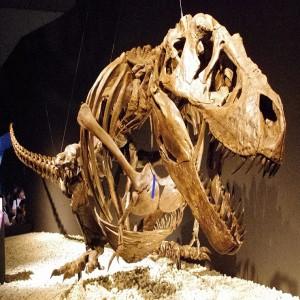 """Kostra dospělého jedince druhu Tyrannosaurus rex smontovaná v """"odpočívací"""" pozici. Pokud se autoři nově publikovaného výzkumu nemýlí, takto nějak obří predátoři skutečně odpočívali, spali a možná také číhali na svoji kořist. Kredit: ssr ist4u; Wikipe"""