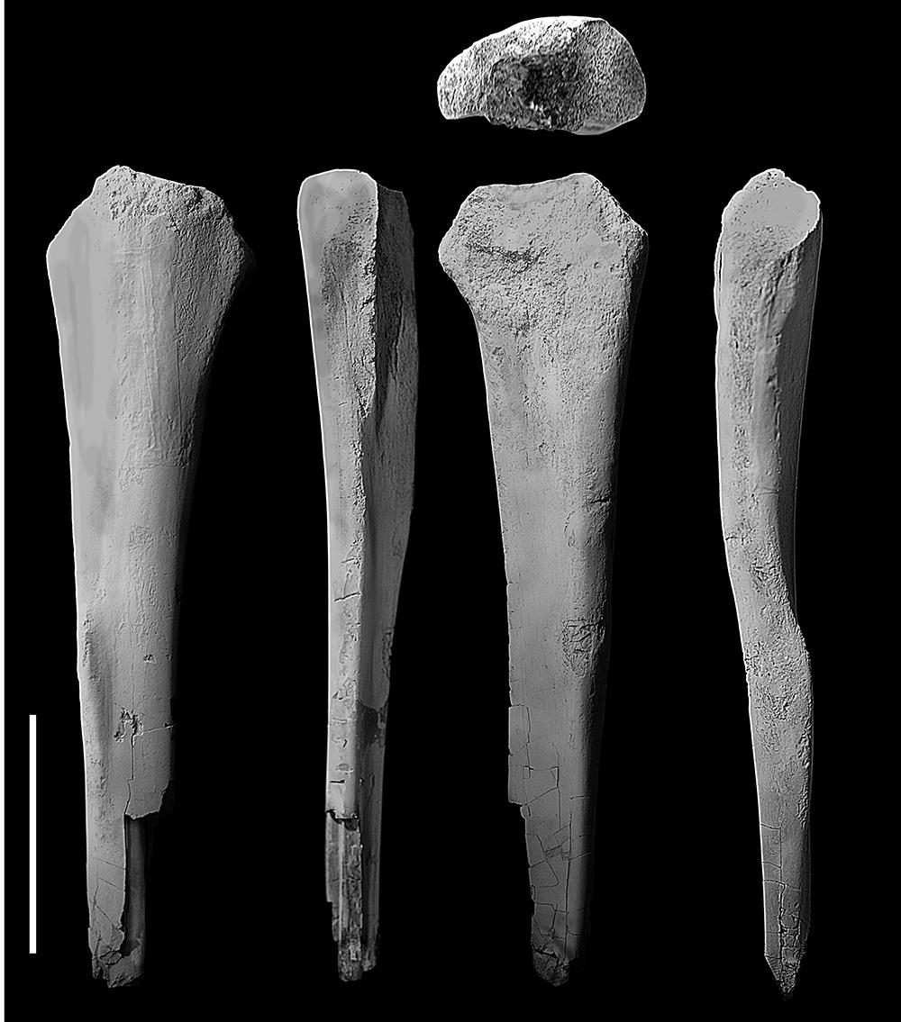 Kost lýtková polského teropodního dinosaura druhuVelocipes guerichi(převzato zDinozaury.com!).