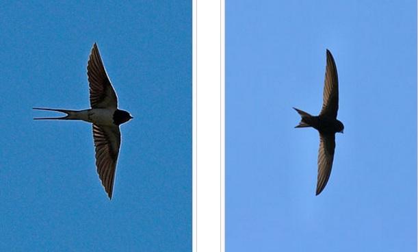 Silueta vlaštovky (vlevo) a rorýse. (Kredit: en-Wikipedia)
