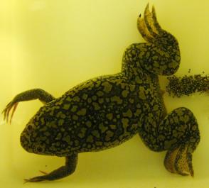 Xenopus Laevis - šiřitelka Bd mykózy. Na snímku jak klade vajíčka. Je původem z Afriky, ale nově se jí skvěle daří i vUSA,Mexiku,Chile,Indonésii, na jihuWalesua nálezy jsou hlášeny už i z Franciea Jávy. Sama je k přen