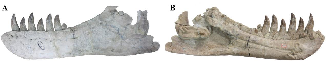 Fragment levé zubní kosti (dentale) čučchengtyrana měří na délku 78 cm a obsahuje i sedm poměrně dobře zachovaných zubů. Velikostí je tato část lebky srovnatelná s běžně velkými dentálními kostmi tarbosaurů, fosilie je však výrazně starší (nejméně 73