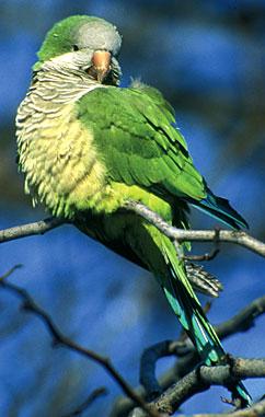papoušk mniší