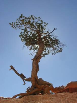 borovice osinatá
