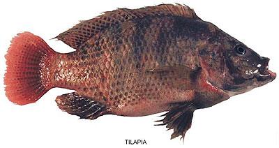 ryba tilapia