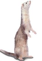 Fretky z laboratoře Johna Engelhardta se staly dalším klonovaným savcem.