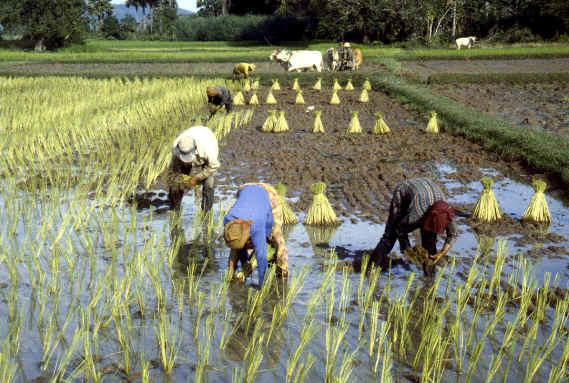 rýžoviště
