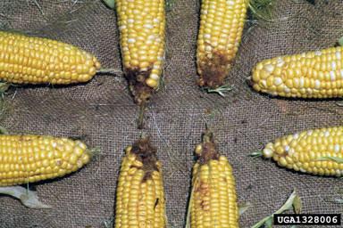 Bt-kukuřice
