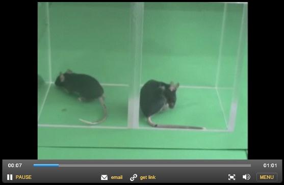 Škrábající se myš