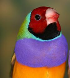 První, kdo tyto ptáky objevil byl anglický cestoval a ornitolog