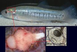 Paraziták és rybicek,